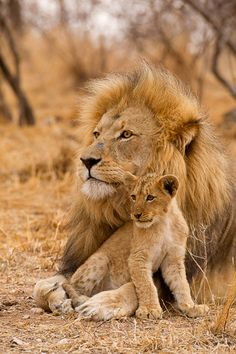 An African Male Lion Spending Sometime With One of His Cubs. (Photo by Stu Porter). Animals And Pets, Baby Animals, Cute Animals, Animals Images, Wild Animals, Beautiful Lion, Animals Beautiful, Big Cats, Cute Cats