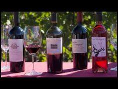 Wine Harvest with Bettina Sichel at Laurel Glen Vineyard in this Wine Sisterhood TV episode