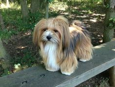 Out and about in Orwell country park. Daisy Lhasa Apso.