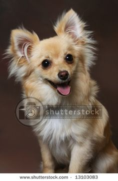 Cute little Chihuahua-Pomeranian mix dog on brown background by Photohunter, via ShutterStock