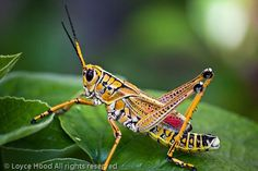 This time of year, one can find these giant Grasshoppers most anywhere in Florida. The Southeastern Lubber Grasshopper (Romalea mycroptera). Grasshoppers, Creatures, Crickets, Snails, Bugs, Nature, Animals, Awesome, Room