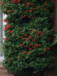 Pyracantha 'Red Column' is a magnificent colourful spectacle next to this front door. Just watch for the sharp thorns.