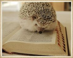 hedgehog reading dictionary via the regina monologue