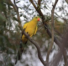 Regent Parrot -- The Regent Parrot has two separate populations separated by the Nullarbor Plain: one in the Mallee regions of eastern Australia, and the other in the Wheatbelt region of southern Western Australia. Though the populations are widely separated, the birds of each region do not appear especially different, one being a little duller than the other.