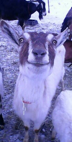 Happy Sable Goat