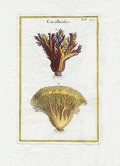 Rei Herbariae Botanical Prints 1703 Coralloides