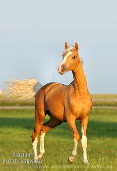 "Equine Photography - Karolina Wengerek Golden horses. Wielkopolski Polish warmblood. ""Ocavango"""