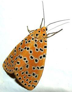 Crotalaria Pod Borer Moth