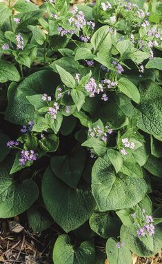 Guide to Growing Brunnera - FineGardening Wooded Landscaping, Plant Leaves, Landscape, Plants, Scenery, Plant, Corner Landscaping, Planets