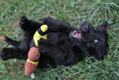 Oh my-baby Scottie's through our senior pups-all get that silly playful look. I love it!!