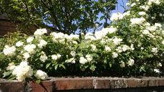 Rigomagno....roses... Montepulciano⊙around Tuscany