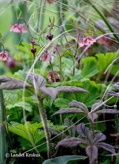 Beautiful combination, geum, rodgersia, grass. En oväntad och väldigt fin kobination.. alla växter finns på min vill ha lista.