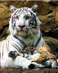 Snow tiger mother with her little baby Snow Tiger, Pet Tiger, Bengal Tiger, Baby Tigers, Cute Tigers, Big Cats, Cats And Kittens, Cute Cats, Siamese Cats