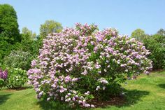 Just  a beautiful pic of a lilac bush. My favorite!