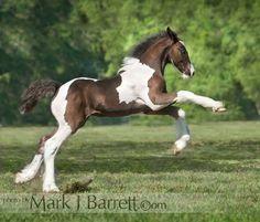 3311-221.jpg :: Gypsy Vanner Horse foal