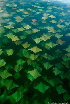 Sandra Critelli, Gulf of Mexico, stingray migration. All Nature, Amazing Nature, Science Nature, Beautiful Creatures, Animals Beautiful, Cow Nose, Vida Animal, Water Life, Ocean Creatures