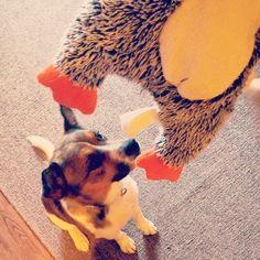 Somebody loves his new penguin toy! #pupsofinstagram