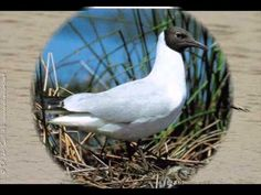 Mouette rieuse - YouTube