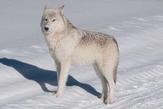 Daniel J Cox photo of a grey wolf in Yellowstone