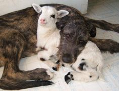 Too darn cute. You can see how much this dog loves his BFF lamb buddy.