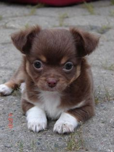 Chihuahua Puppy Welpe Brown Tan Longhaired