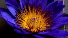 Preview wallpaper blue lotus, star lotus, water lily star, petals, bud 1920x1080