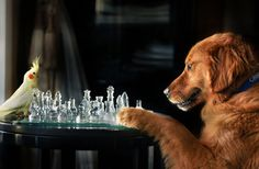 The thinking dog's dog playing chess.