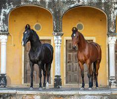 Marwari  mares Tara and Chanda. photo: Ekaterina Druz.