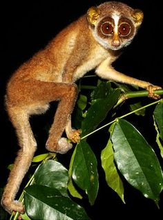 The slender loris, a rare primate, was feared to be extinct for more than 60 years. Here's one in Sri Lanka.