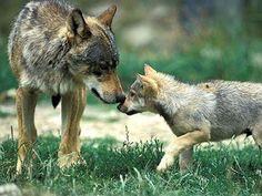 cadalso vive: vuelve poco a poco el lobo a Madrid ...