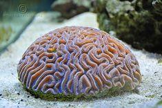 Ocean Underwater, Underwater Creatures, Reef Aquarium, Saltwater Aquarium, Poisson Mandarin, Hard Coral, Brain Coral, Beautiful Sea Creatures, Marine Fish