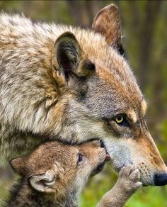 Momma and baby loup (Wolf) Wolf Spirit, Spirit Animal, Cute Baby Animals, Animals And Pets, Wild Animals, Beautiful Creatures, Animals Beautiful, Tier Wolf, Wolf Love