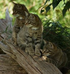 cybergata:  Three Amigos by Peter G Trimming on Flickr. Via Flickr: Scottish Wildcat kittens, at the British Wildlife Centre. They had just spotted a Keeper; about to enter their enclosure, for the afternoon talk.