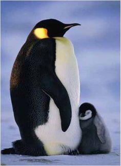 penguin mom and baby - Google'da Ara