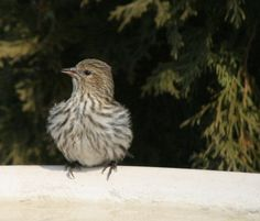 Pine Siskin.  This little finch will show up in the winter, at your thistle feeder and heated bird bath. garden-stories.com