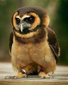 Spectacled owl via Paradise of Birds on Facebook