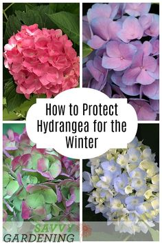 Garden Planning Learn how to protect hydrangea for the winter to see more blooms! - Ever wonder why your hydrangea doesn't bloom well? Use these four simple tips to increase your chances of seeing more beautiful blooms. Hydrangea Winter Care, Hydrangea Potted, Pruning Hydrangeas, Hydrangea Colors, Hydrangea Care, Caring For Hydrangeas, Hydrangea Landscaping, Hydrangea Not Blooming, Growing Flowers