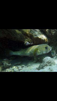 Porcupine Fish Under The Sea, Caribbean, Fish, Pets, Animals, Animals And Pets, Animales, Animaux, Animais