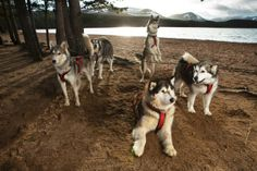 31st Aviemore sled dog rally (the UK's largest),  in which more than 1,000 dogs and 250 mushers take part. Photo: Murdo MacLeod