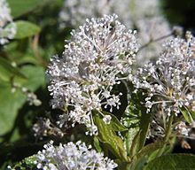 Ceanothus americanus is a species of shrub native to North America. Common names include New Jersey tea, Jersey tea ceanothus, variations of red root (red-root; redroot), and mountain sweet (mountain-sweet; mountainsweet), and wild snowball.[2][4] New Jersey Tea was a name coined during the American Revolution, because its leaves were used as a substitute for imported tea. (supposed to help Lyme Disease)