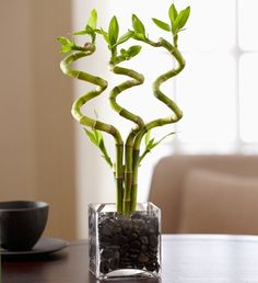 Curly Bamboo-adds great plant energy, color and supposed to be good luck!
