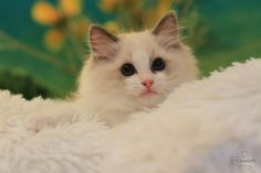Zeus Kitten, Cats, Animals, Kittens, Gatos, Animais, Kitty, Animales, Animaux