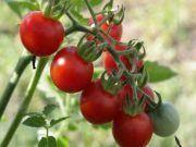 Édes paradicsomokra vágysz? Íme a biztos trükk, amitől finomabb lesz, mint valaha! Tomato Garden, Fruit Garden, Vegetable Garden, Gardening Tips, Garden Tools, Homemade, Landscape, Vegetables, Blog
