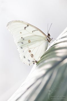 Beautiful wildlife photography ~ white butterfly