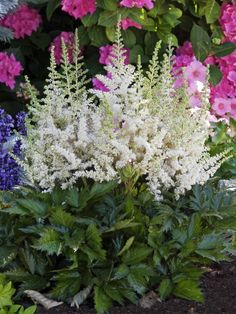 Astilbe chinensis 'Vision in White', all Astilbe do great in the shade.