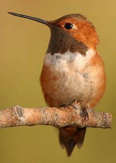 Rufous Hummingbird enjoying the view of it's habitat.
