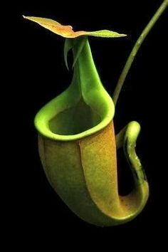 Coryanthes - Bucket Orchid