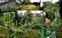 Vyvýšený záhon se 3 sestrami - indiánská metoda pěstování kukuřice, fazole a dýně.  Permadesign   Design přírodních zahrad Plants, Design, Plant, Planets