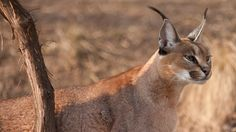 Caracal (Caracal caracal) have world population size are not well documented but the species is today (2013) listed at the ICUN Red List as least concern. The cat have a weight that can exceed 20 kg.