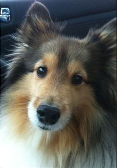 Sheltie giving the look